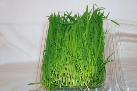 This fresh packed Springs Healthcare wheatgrass straight from our wheatgrass farm